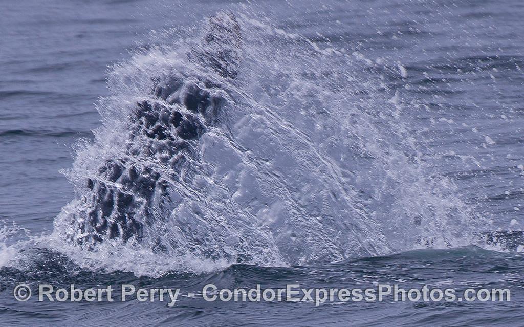 Tail fluke of a Humpback Whale (Megaptera novaeangliae).