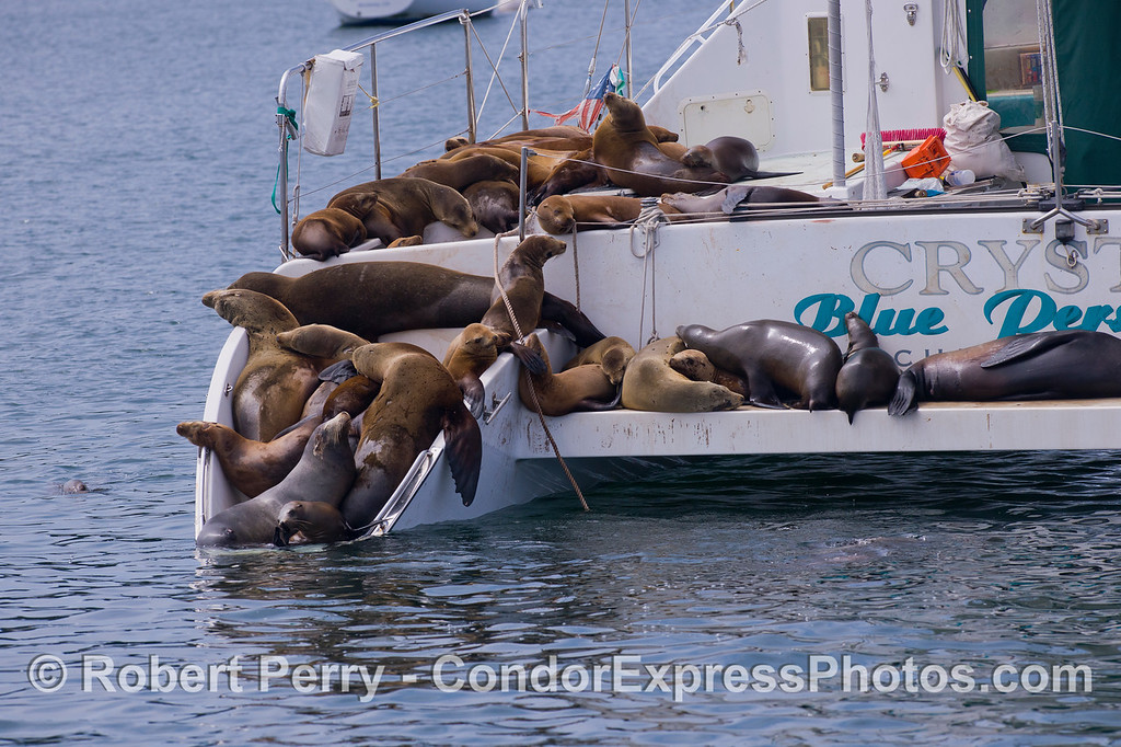 California Sea Lions (Zalophus californianus) take over a catamaran.  As a side note, the cabin door was left open...