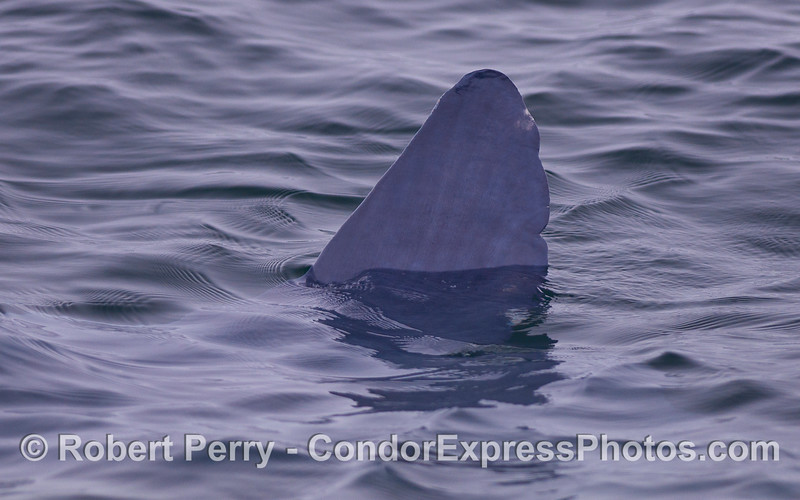Dorsal fin of an ocean sunfish (Mola mola).