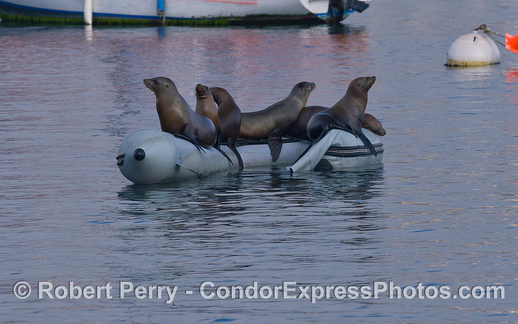 California Sea Lions (Zalophus californianus) on board an inflatible rubber dinghy.