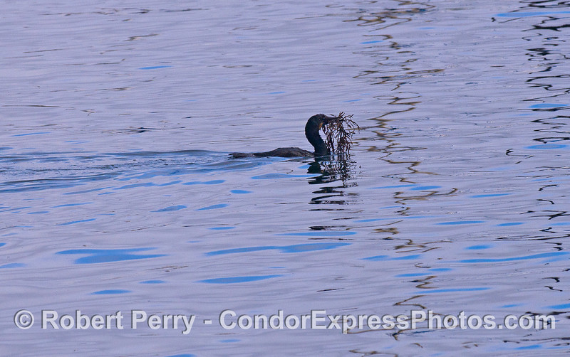 A Brandt's Cormorant (Phalocrocorax penicillatus) swims with sea weed in its mouth.