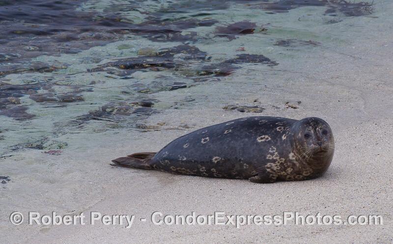 A Pacific Harbor Seal (Phoca vitulina richardsonii).