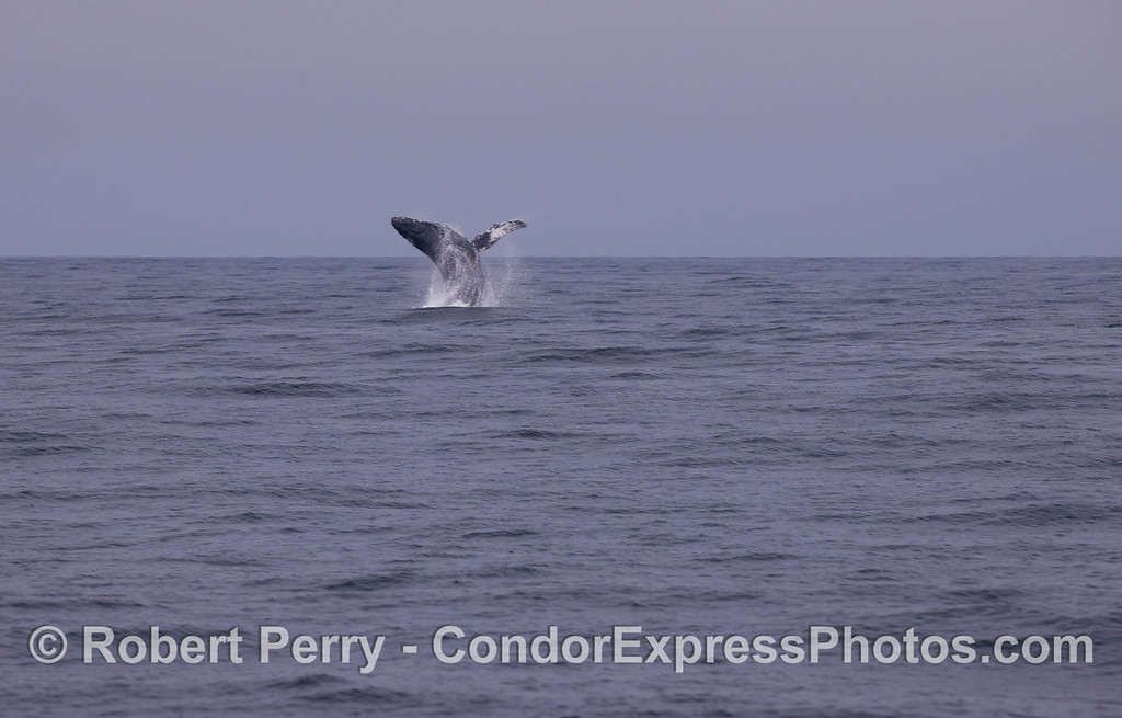 Image sequence 1 of 3:  A Humpback Whale (Megaptera novaeangliae) breaching.