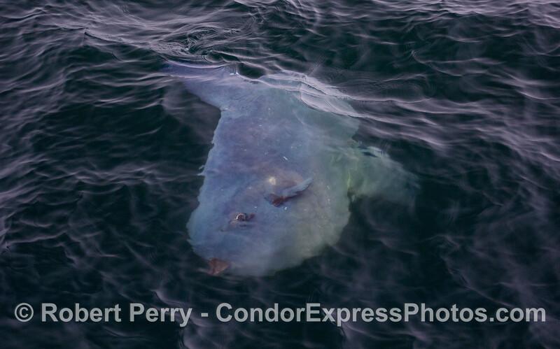 A large ocean sunfish (Mola mola).