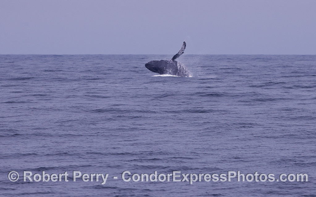 Image sequence 2 of 3:  A Humpback Whale (Megaptera novaeangliae) breaching.
