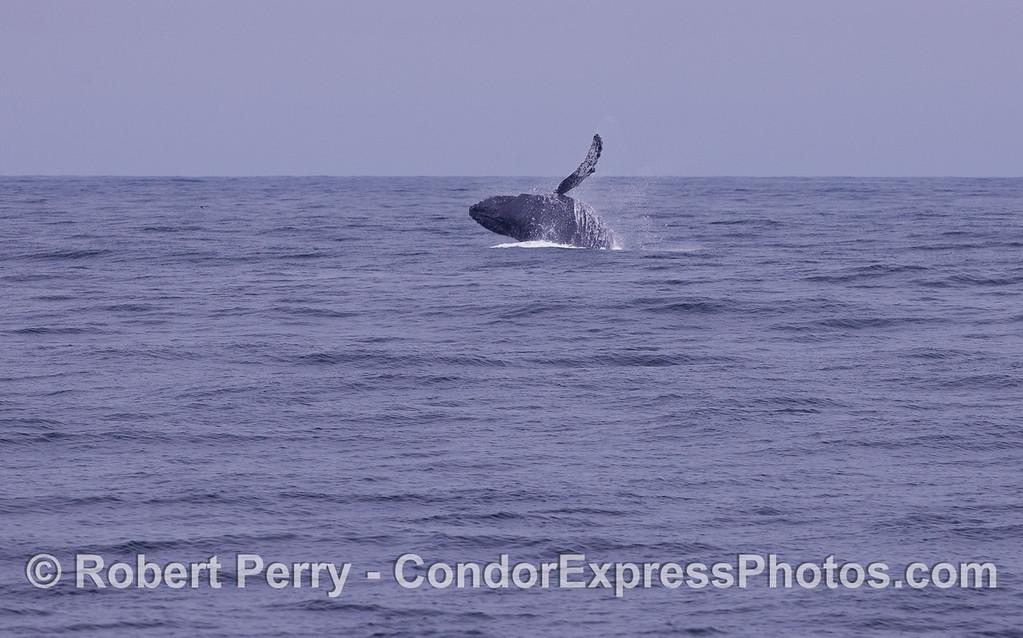 Image sequence 2 of 3:  A Humpback Whale (Megaptera novaeangliae) breaching.