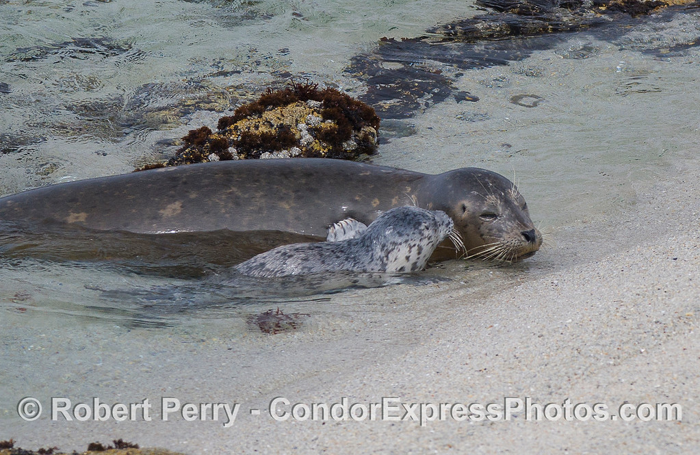A Pacific Harbor Seal (Phoca vitulina richardsonii) with her recently born pup.