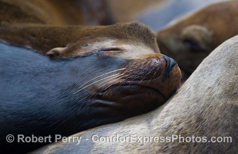California Sea Lion (Zalophus californianus) bull, asleep.