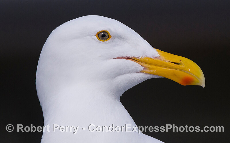 Western Gull (Larus occidentalis) - lateral view of head.