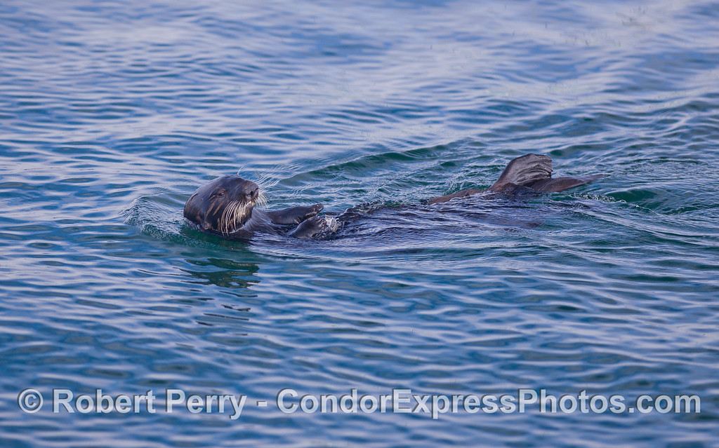 An adult female Sea Otter (Enhydra lutris).