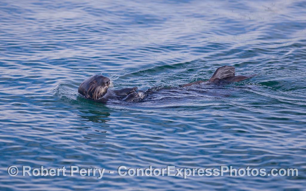 An adult female Sea Otter (Enhydra lutris).