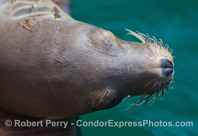 Dorsal view of the head of a California Sea Lions (Zalophus californianus).