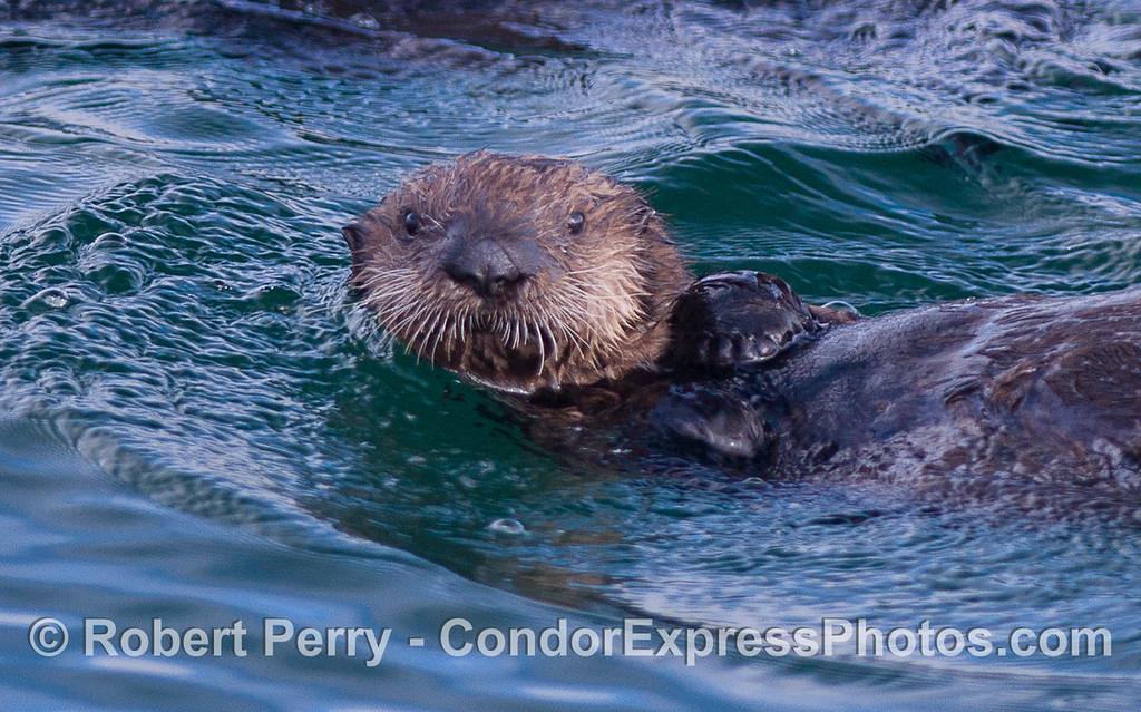 A Sea Otter (Enhydra lutris) pup.