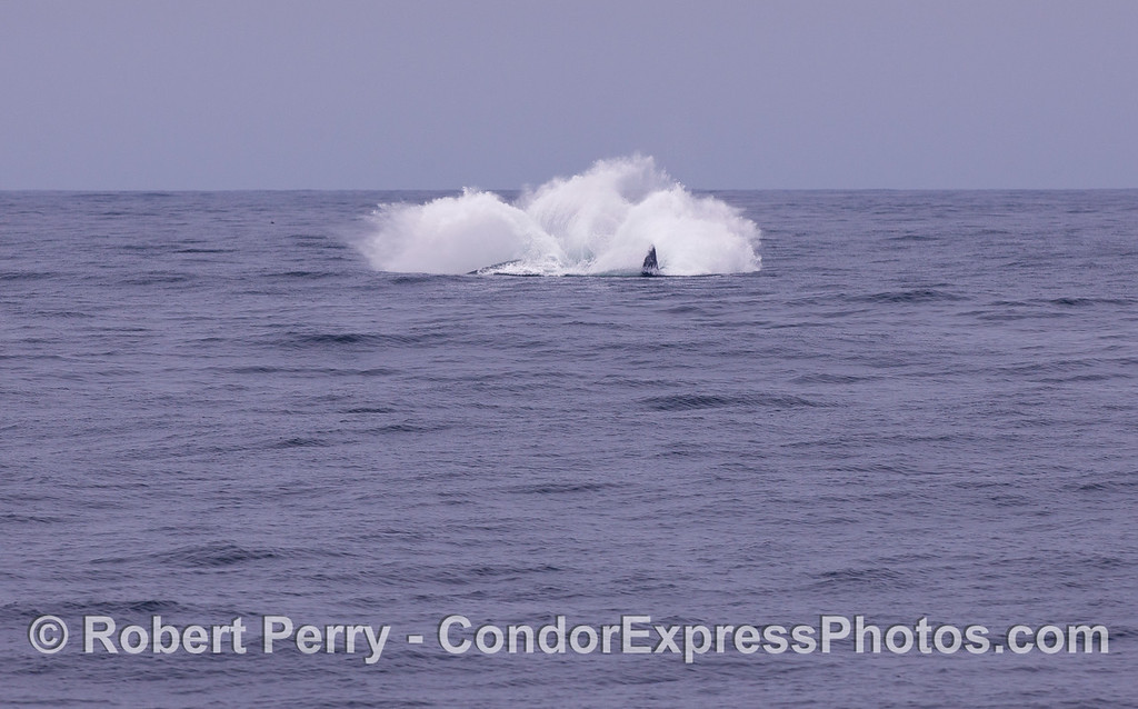 Image sequence 3 of 3:  A Humpback Whale (Megaptera novaeangliae) breaching.