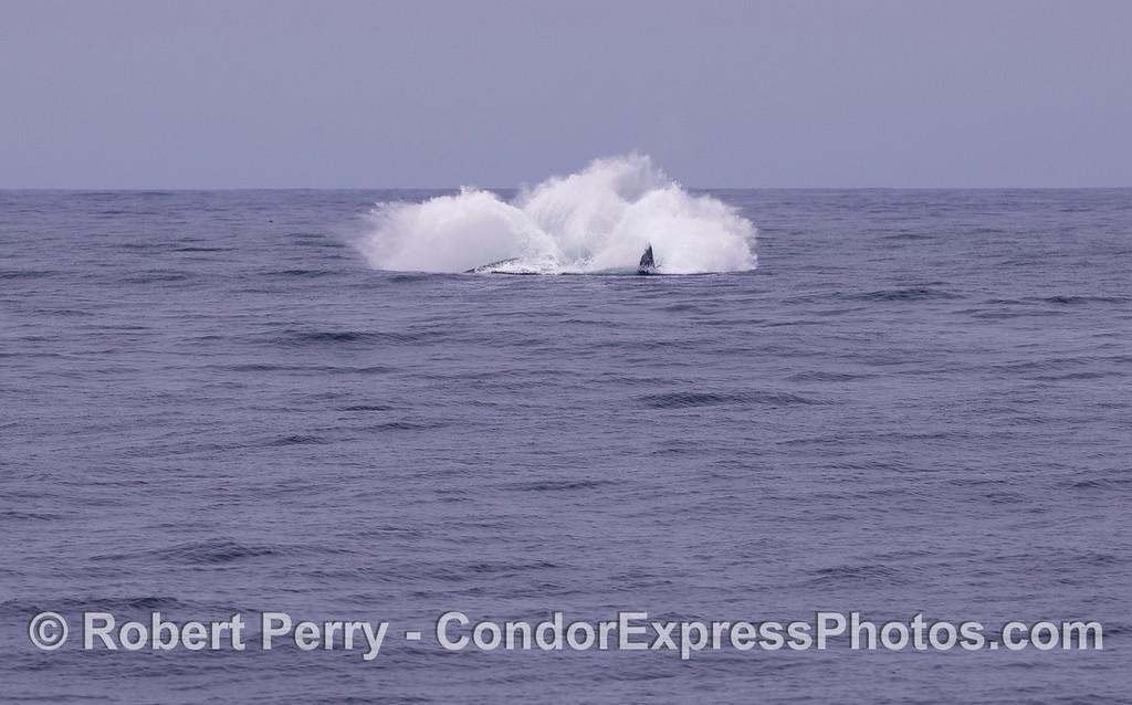 Image sequence 3 of 3:  A Humpback Whale (Megaptera novaeangliae) breaching.
