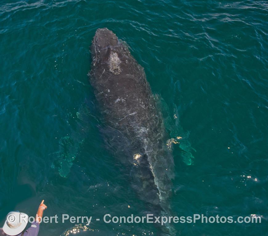 CINC Naturalis Cubby points to a Humpback Whale (Megaptera novaeangliae).