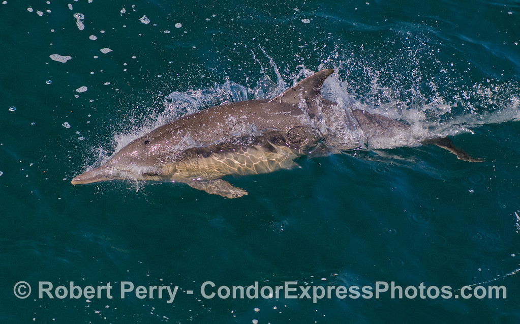 Common Dolphin (Delphinus capensis).