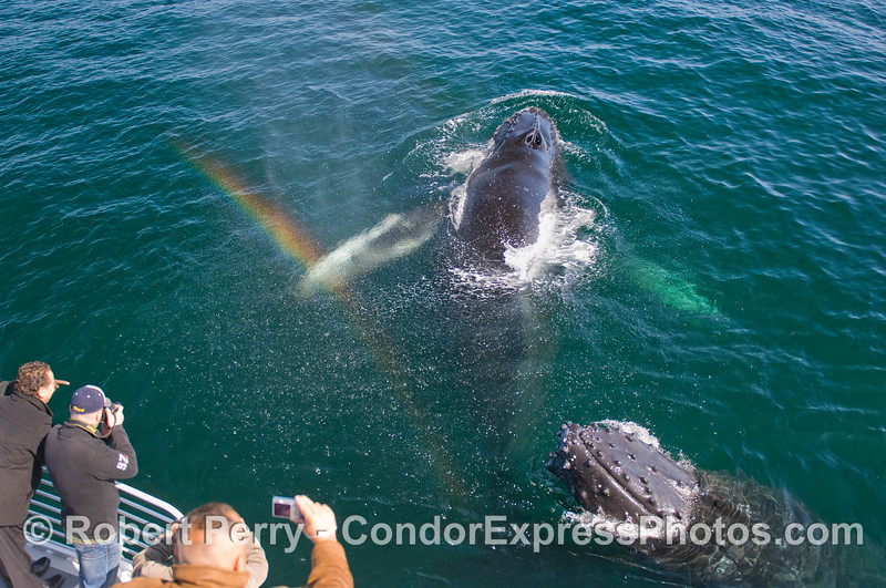 One of three Humpback Whale (Megaptera novaeangliae) images with a rainbow in the spout spray.