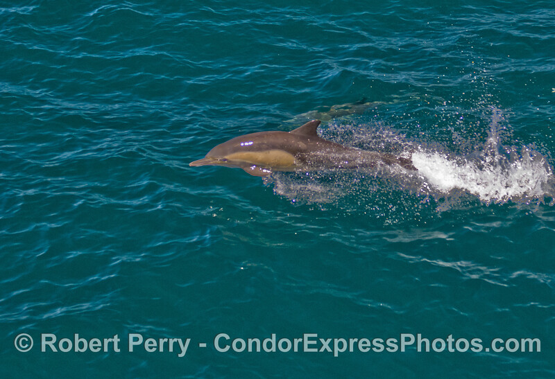 A Common Dolphin (Delphinus capensis) gets airborn.