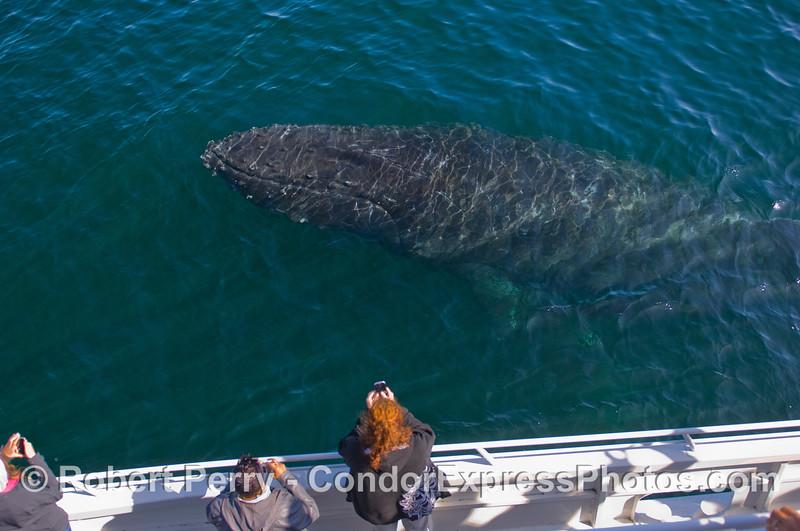 A Humpback Whale (Megaptera novaeangliae) won't leave the Condor Express alone.