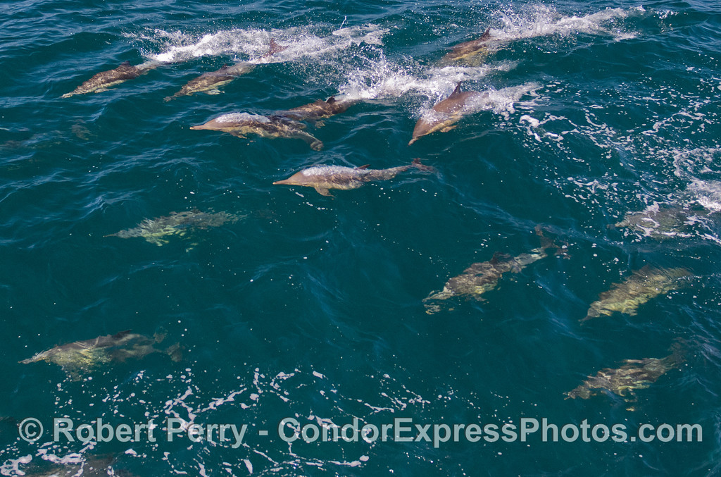 Common Dolphins (Delphinus capensis).