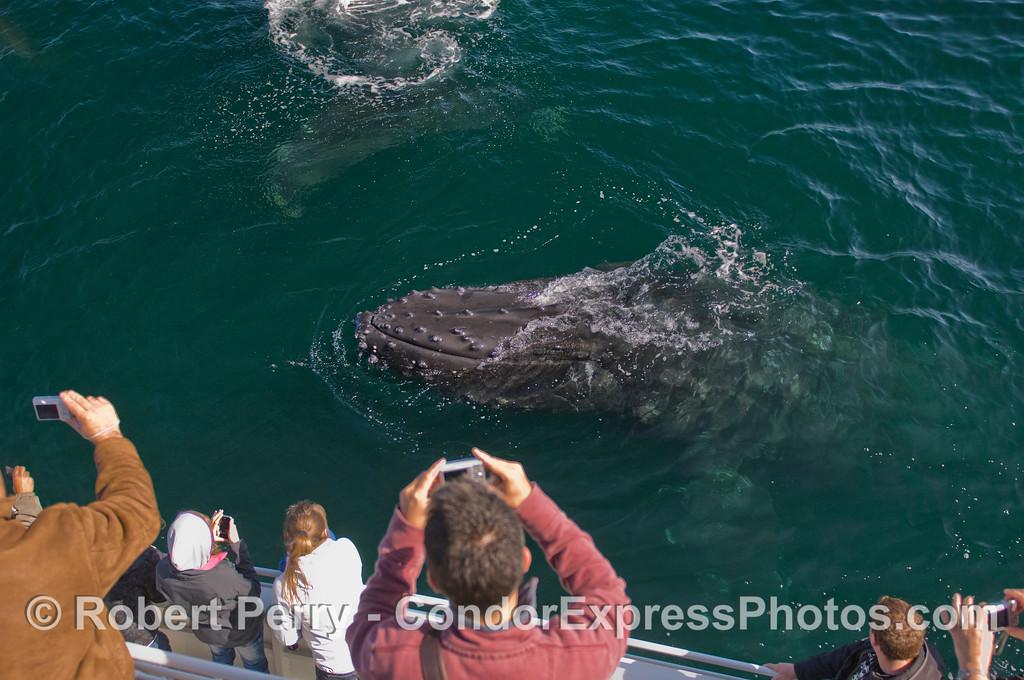 Humpback Whale (Megaptera novaeangliae).