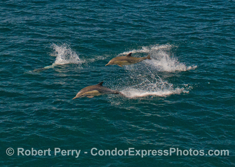 Common Dolphins (Delphinus capensis) fly through the air.