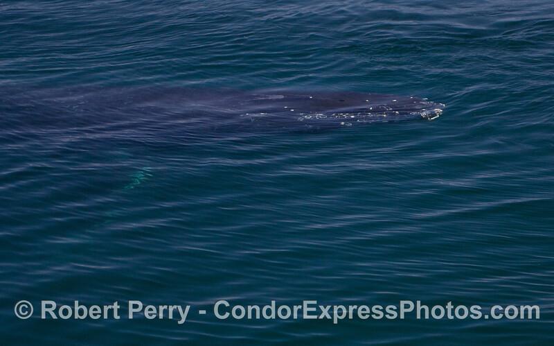 Beast underwater - Humpback Whale (Megaptera novaeangliae).