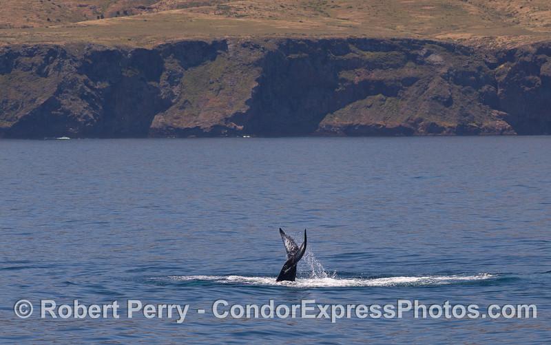 Humpback Whale (Megaptera novaeangliae) with Santa Cruz Island in the background.