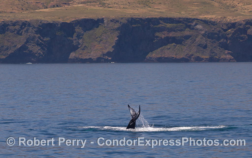 Humpback Whale (Megaptera novaeangliae) with Santa Cruz Island in the background.
