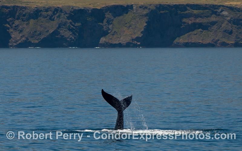 Tail of the whale, a Humpback Whale (Megaptera novaeangliae) near Santa Cruz Island.
