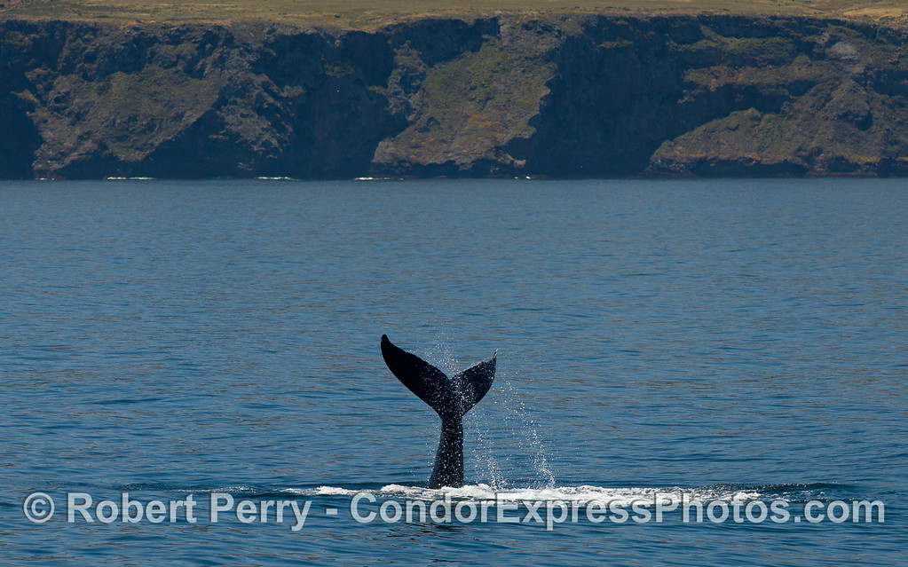 Tail of the whale, a Humpback Whale (Megaptera novaeangliae) near Santa Cruz Island.