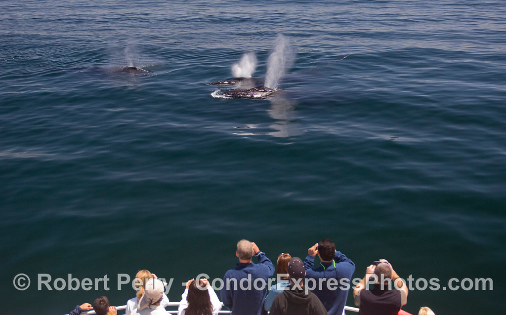 Three spouts from friendly Humpback Whales (Megaptera novaeangliae).