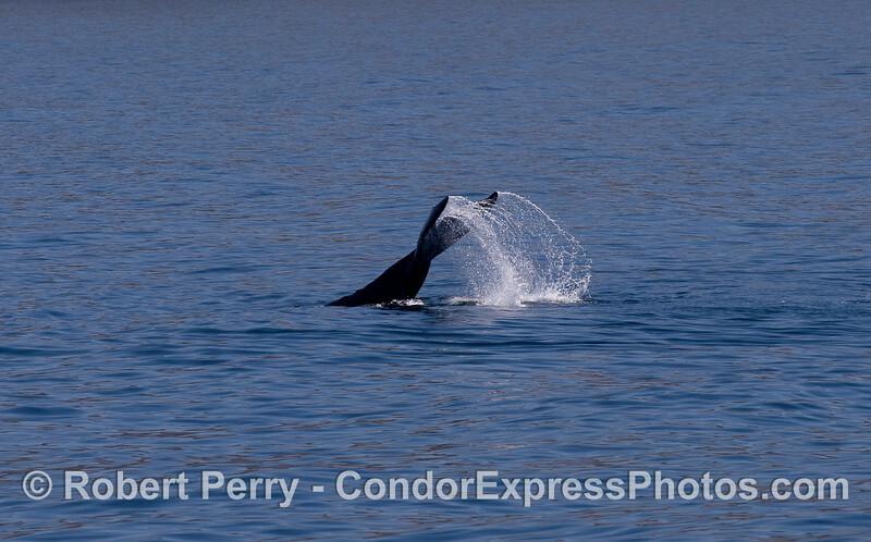 Lob-tailing Humpback Whale (Megaptera novaeangliae).