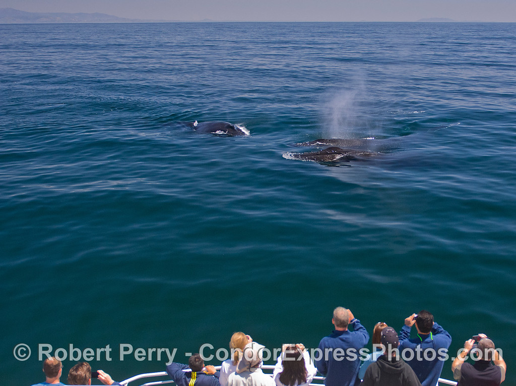 Three friendly Humpback Whales (Megaptera novaenegliae) come in close to visit the kayakers on the Condor Express.