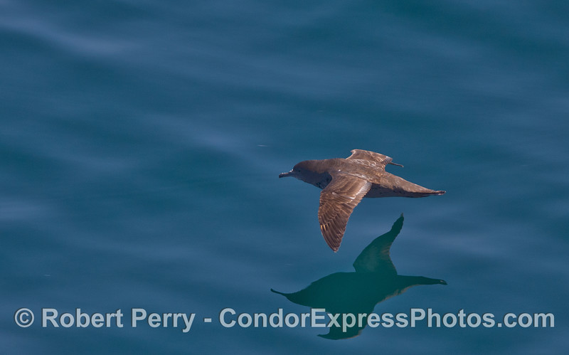 Sooty shearwater (Puffinus griseus).