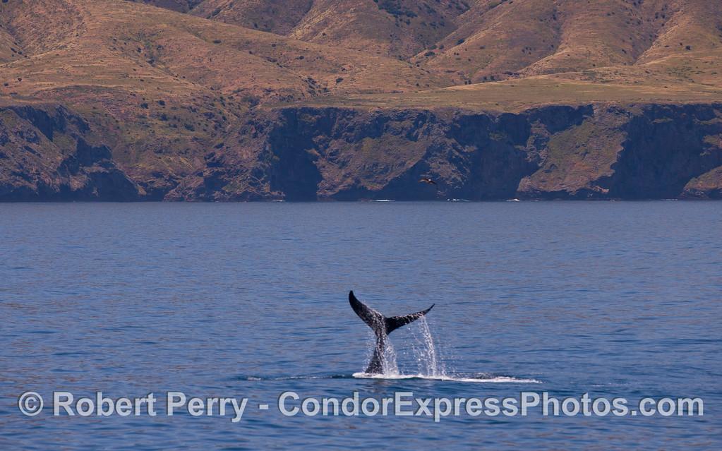 A Humpback Whale (Megaptera novaeangliae) lobs its tail.