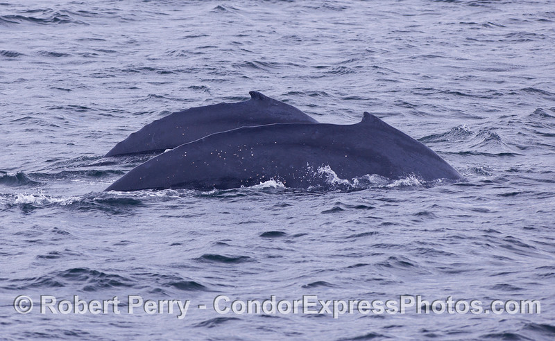 Two Humpback Whales (Megaptera novaeangliae) showing their humpie-ness.