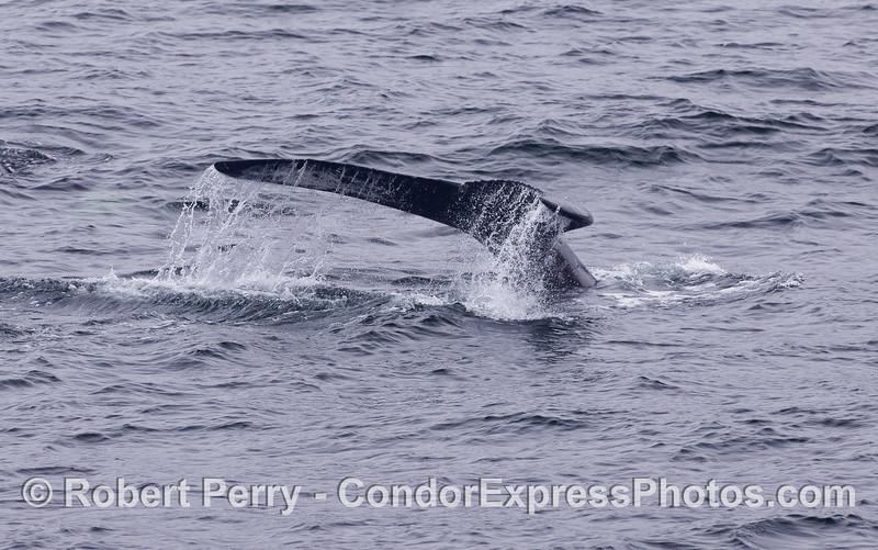 A tail fluke waterfall - Humpback Whale (Megaptera novaeangliae).