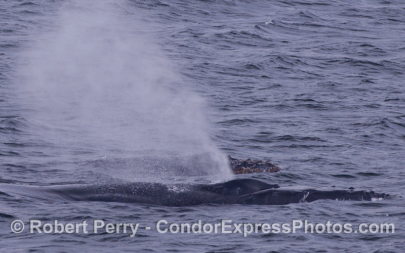 Two Humpback Whales (Megaptera novaeangliae) side-by-side.