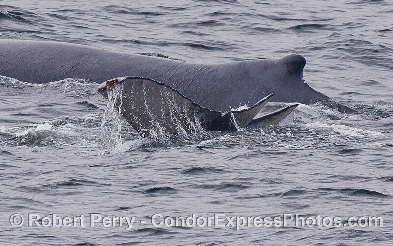 A juvenile Humpback Whale (Megaptera novaeangliae) with a deformed tail swims alongside mom.