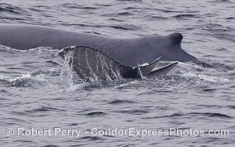 A juvenile Humpback Whale (Megaptera novaeangliae) with a deformed tail swims alongside mom.