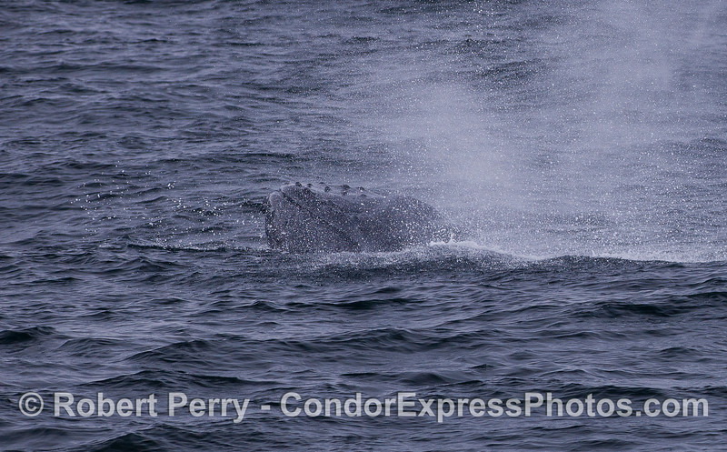 A juvenile Humpback Whale (Megaptera novaeangliae) pokes its head out as it spouts.