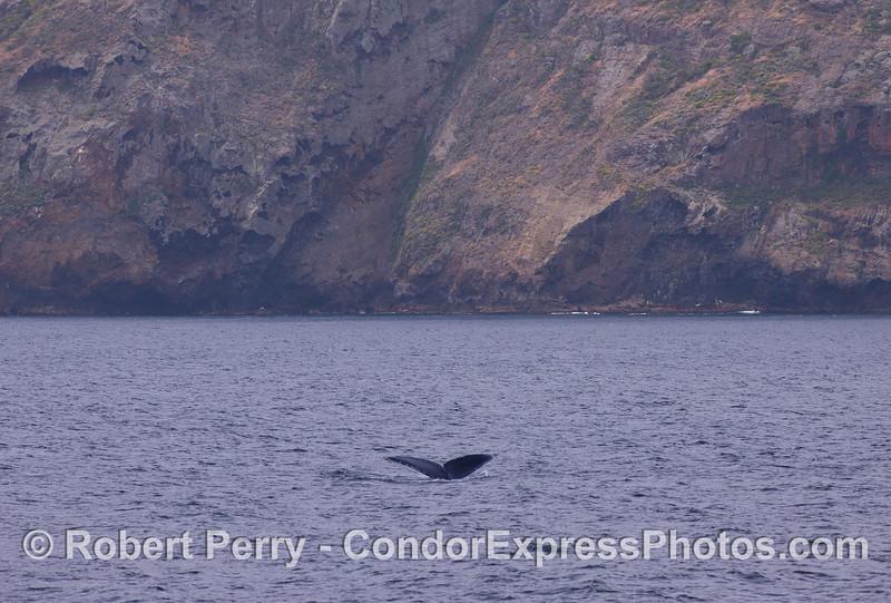 A Humpback Whale (Megaptera novaeangliae) shows its tail flukes near Santa Cruz Island.