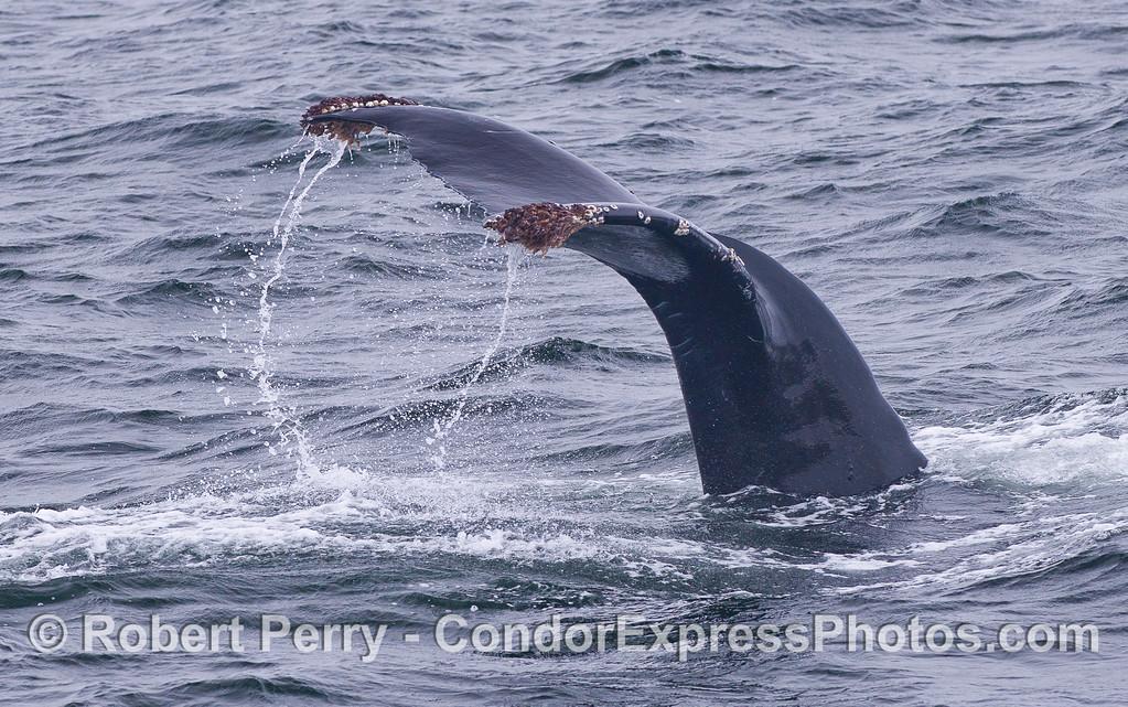 Close look at a Humpback Whale (Megaptera novaeangliae) tail fluke waterfall.