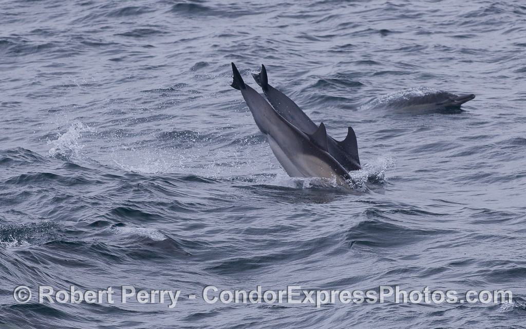 Two Common Dolphins (Delphinus capensis) hit the water at the same time after a leap.