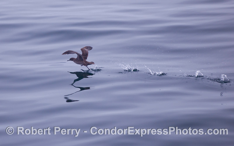 A Sooty Shearwater (Puffinus griseus) runs across the mirrorlike surface trying to take flight.
