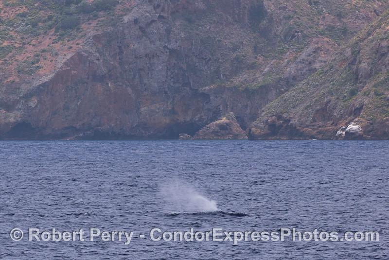 A Humpback Whale (Megaptera novaeangliae) cruises along the north face of Santa Cruz Island.