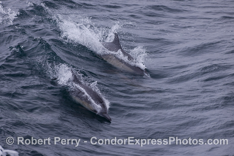 Two Common Dolphins (Delphinus capensis) surf a small open ocean wave.