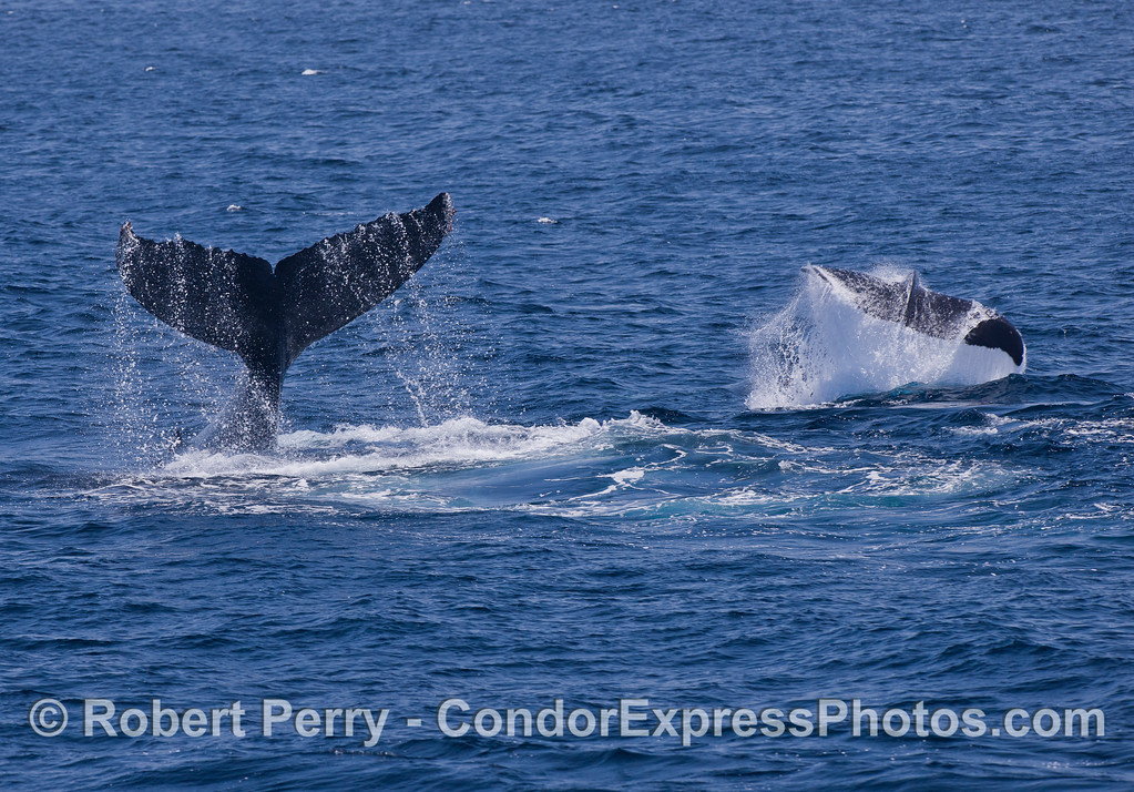 Here we see two Humpback Whales (Megaptera novaeangliae) slapping their tails simultaneously.